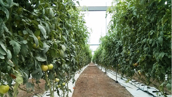 Vista zona de cultivo en invernadero